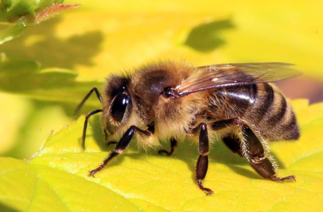 Ученые изучили микробиом пчел