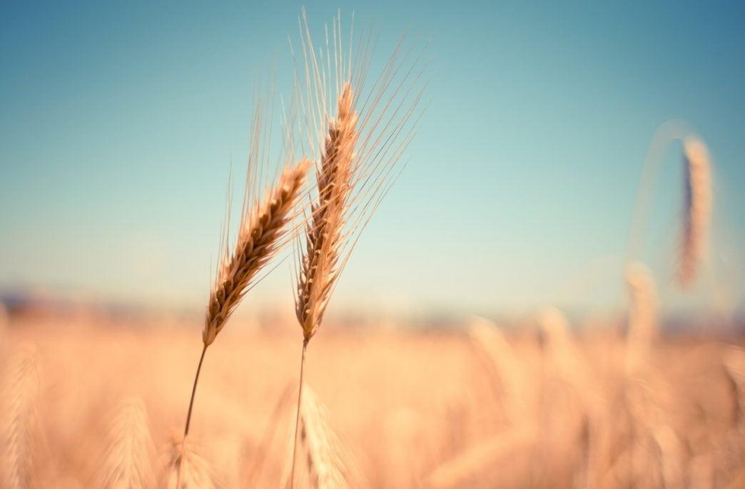 Сегодня в России повысится экспортная пошлина на пшеницу