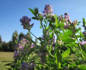 PlantArcBio и Bioceres выведут новые сорта люцерны