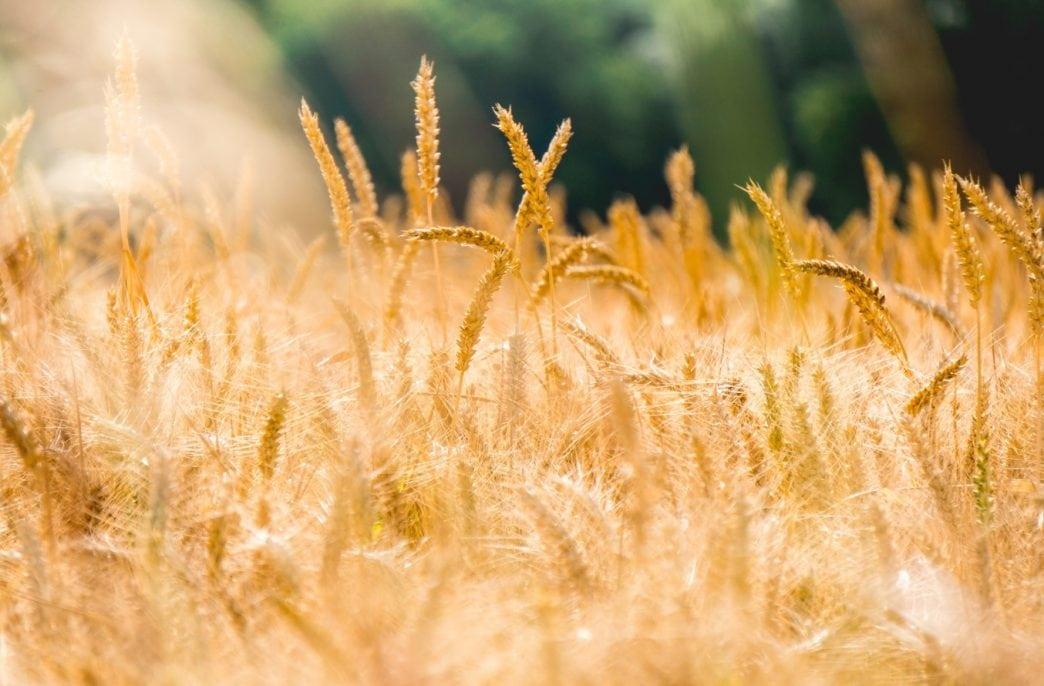 В Канаде ускорят выведение новых сортов пшеницы
