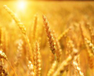 Аномальная жара может ударить по зерновым в России