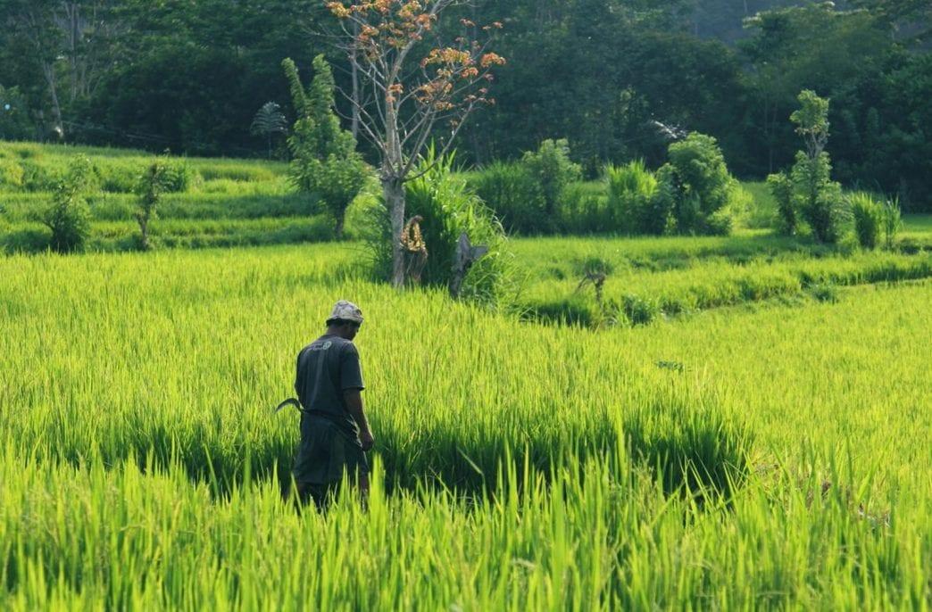В Нигерии вывели новый сорт риса