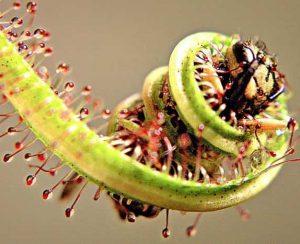 Хищные растения: список растений хищников с фото
