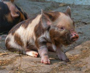 Вокруг свиного навоза накаляются страсти