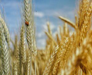 Экспорт зерна из России может составить 51 млн. тонн