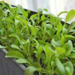 Руккола: выращивание и уход