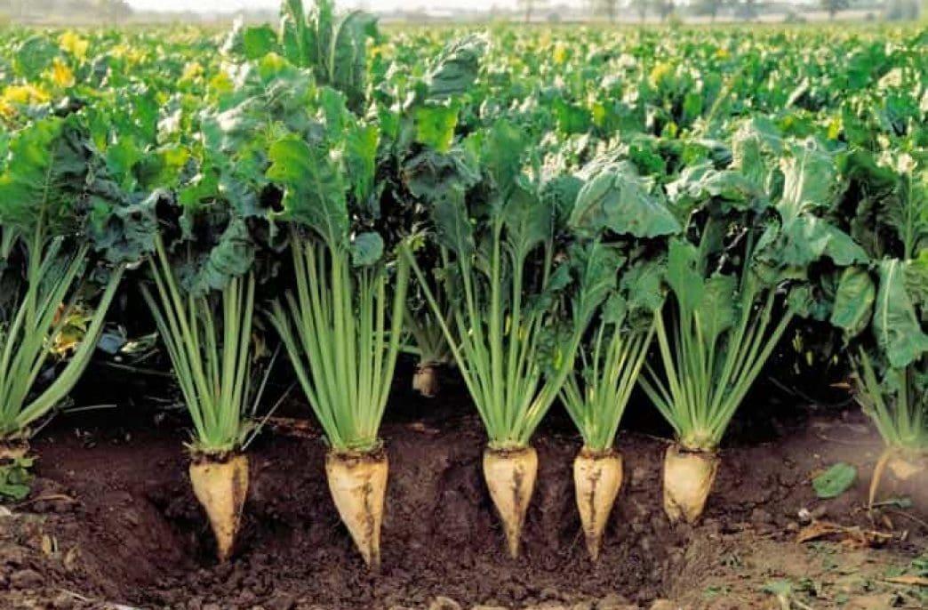 Выращивание сахарной свеклы: особенности посадки и ухода