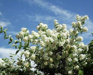 Подкормка жасмина: эффективные удобрения для чубушника