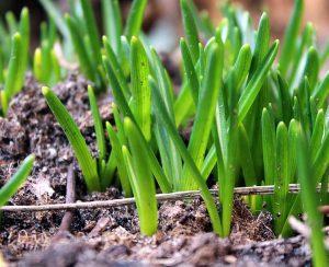 Китайцы ускорили выращивание риса