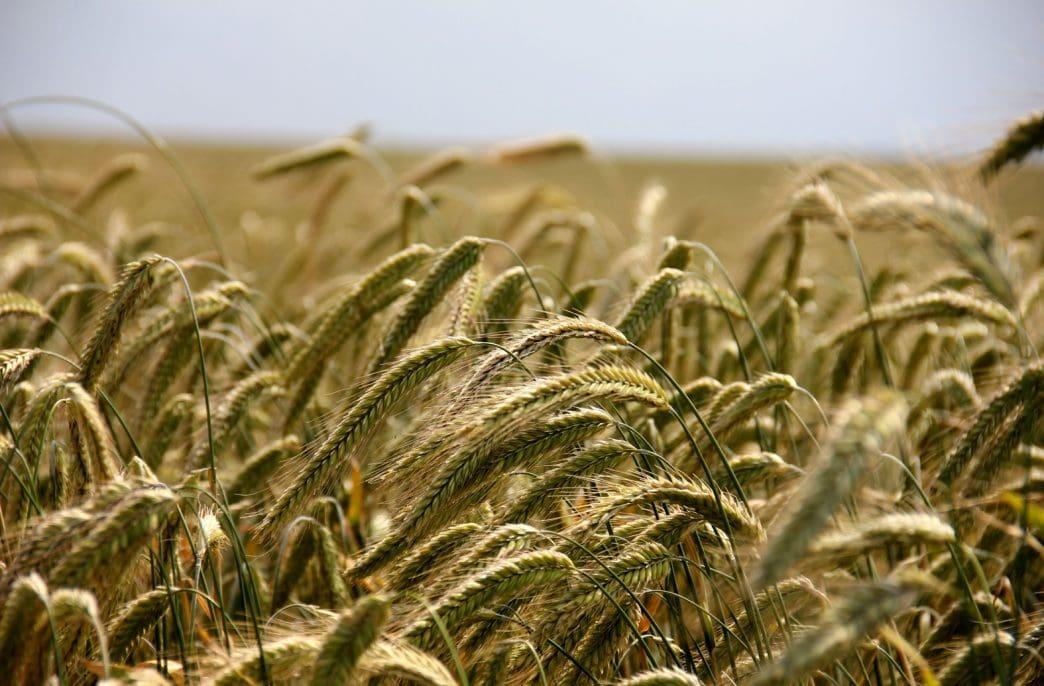 Из России подскочил экспорт ржи