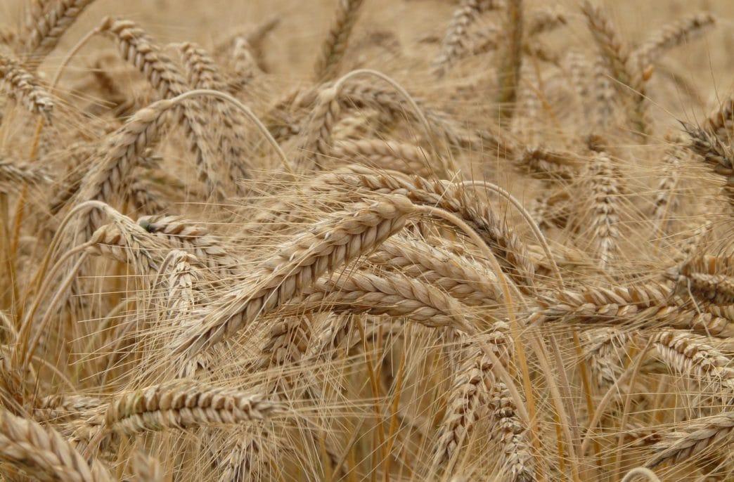 Урожай пшеницы в России может понизиться