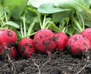 Как, когда и чем подкармливать редис для получения хорошего урожая