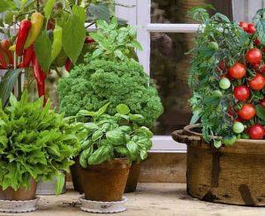 Мини-овощи в огороде и на подоконнике: стоит ли выращивать