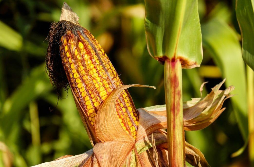 В США прогнозируется рост урожая кукурузы, сои и хлопка