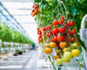 Технология выращивания томатов в защищенном грунте