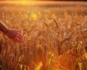 Ученые вывели новый сорт пшеницы