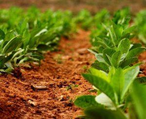Выращивание табака на огороде