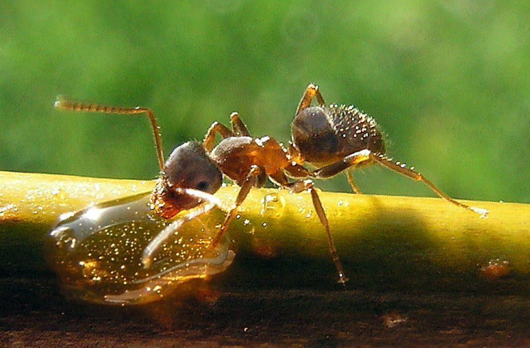 Муравьи могут заменить пестициды
